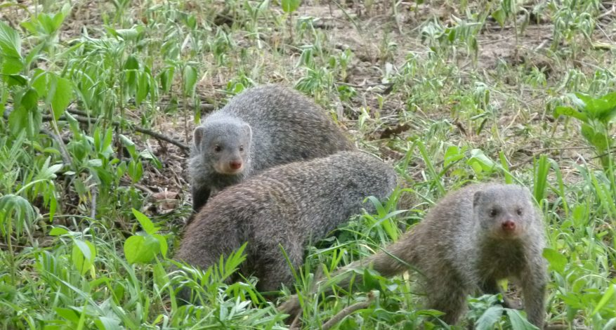 mongoose release