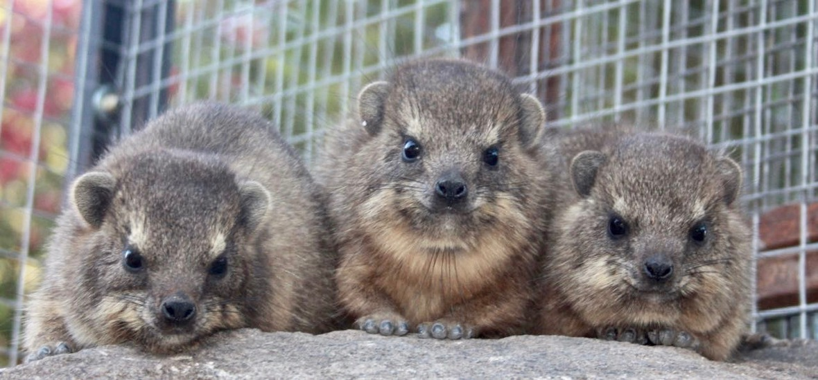 Dassies rock hyrax
